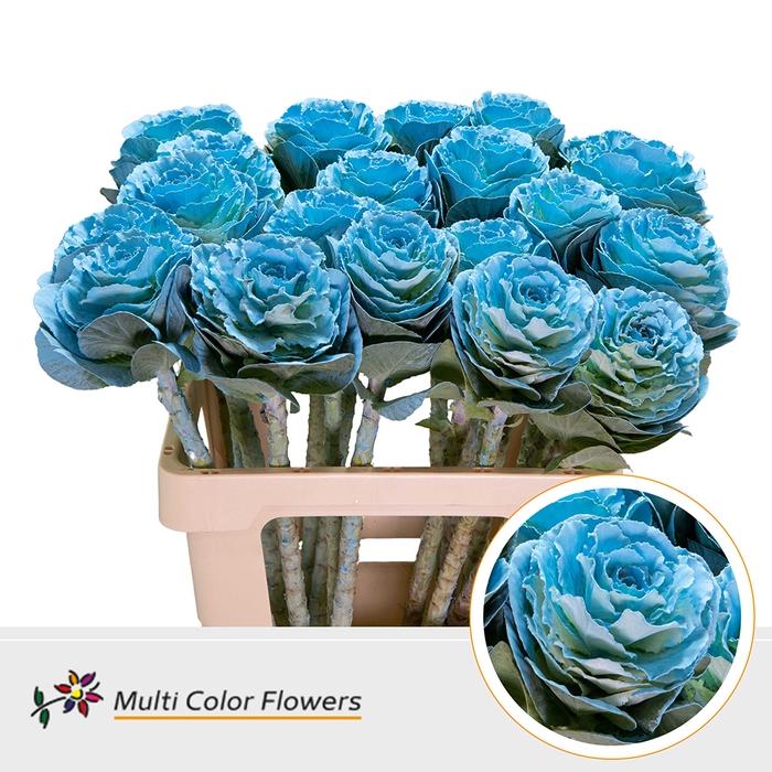 <h4>Brassica  Blauw Licht</h4>