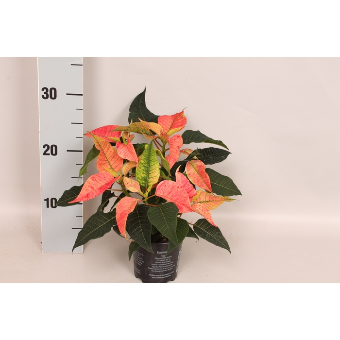 <h4>Poinsettia 10,5 cm Christmas Feelings® Fantasy</h4>