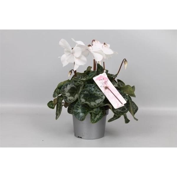 <h4>Cyclamen Fleur En Voque white</h4>