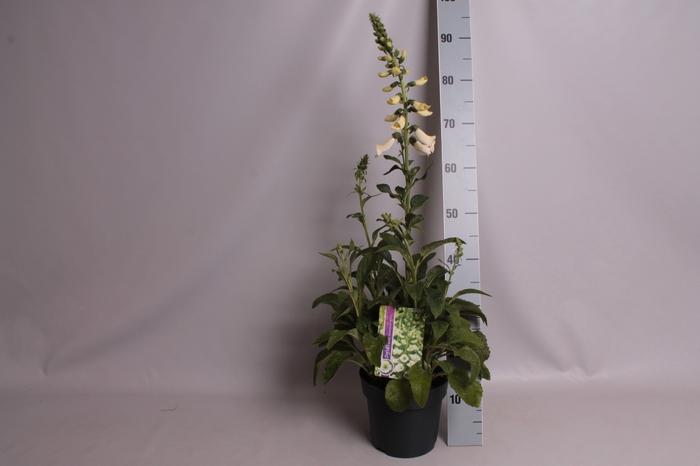 vaste planten 19 cm  Digitalis Dalmatian White