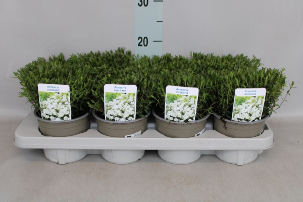 <h4>Arenaria montana</h4>