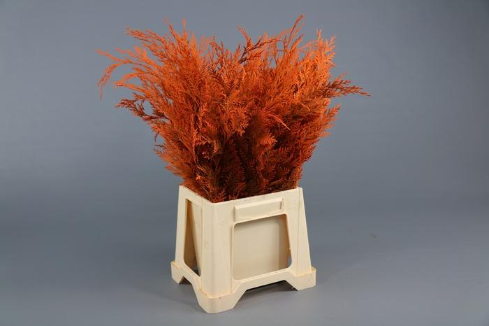 <h4>Conifeer Geverfd Oranje</h4>