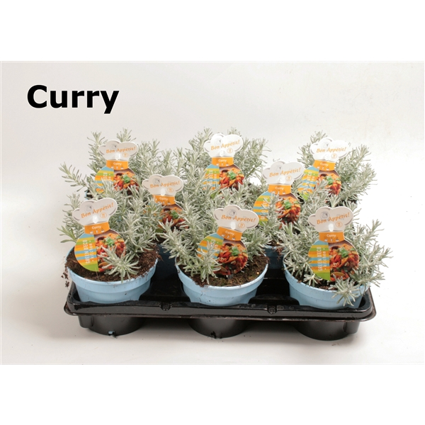 <h4>Helichrysum (curry)</h4>