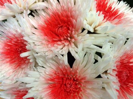 <h4>Chr G Ana White + Red</h4>