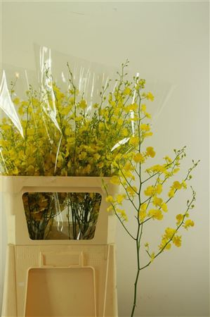 <h4>Oncidium Honey Angel Xl</h4>