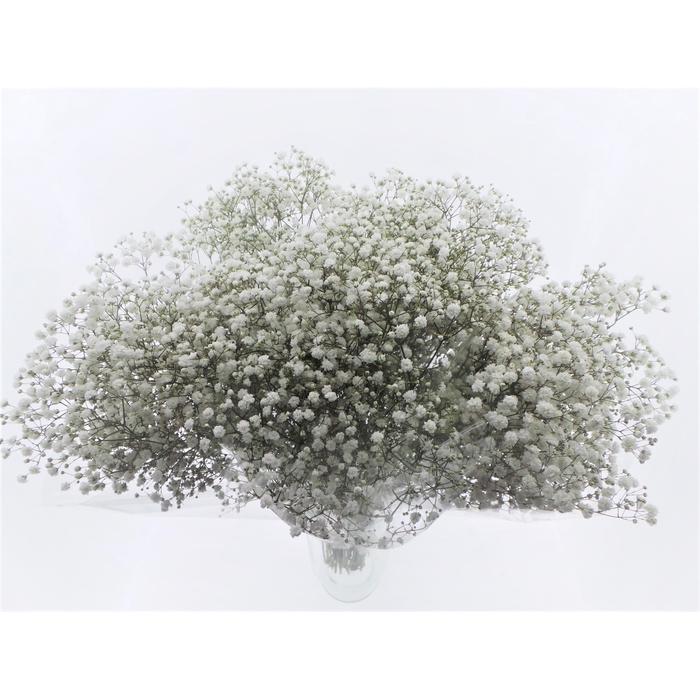 <h4>Bouquet Mono Gyps x5 60cm</h4>