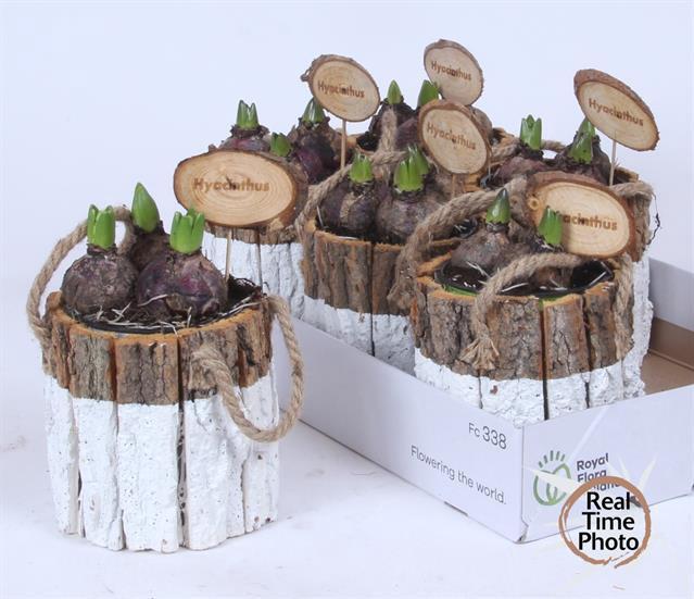 <h4>Hyacinthus Arrang.</h4>