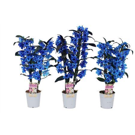 <h4>Dendr N S C Colored Blauw 2 Tak</h4>