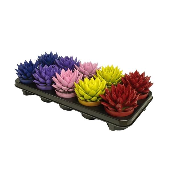 <h4>Echeveria coloured winter mix</h4>