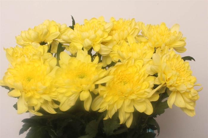 <h4>Chrysant deco Zembla Geel</h4>