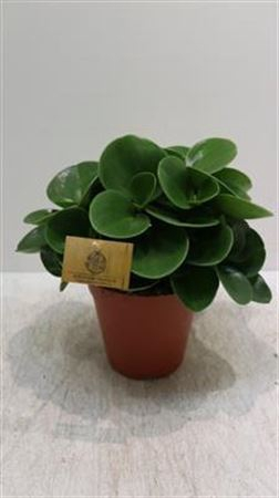 <h4>26 Peperomia Obtus Groot</h4>
