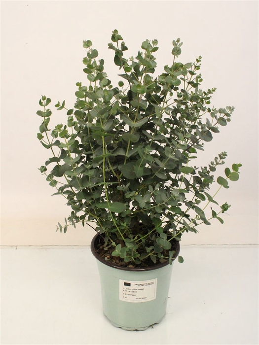 <h4>Eucalyptus Gunnii Bush Kleur Pot Dikte 2</h4>
