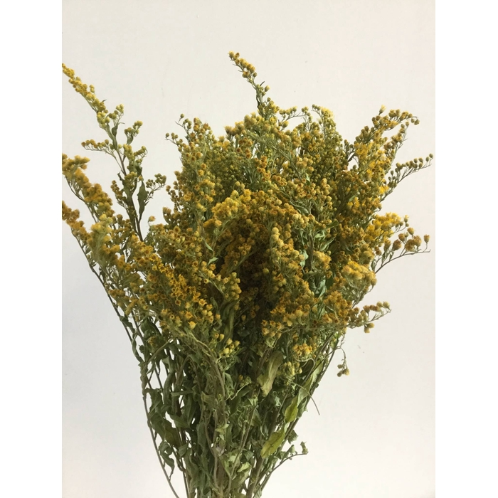 <h4>DRIED FLOWERS - SOLIDAGO 10PCS</h4>