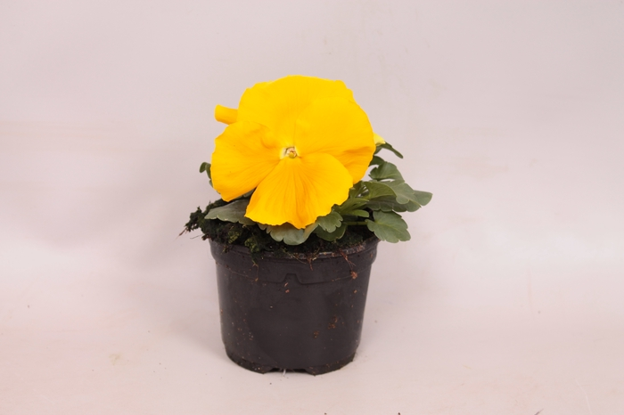<h4>Viola wittrockiana F1 Pure Golden Yellow</h4>