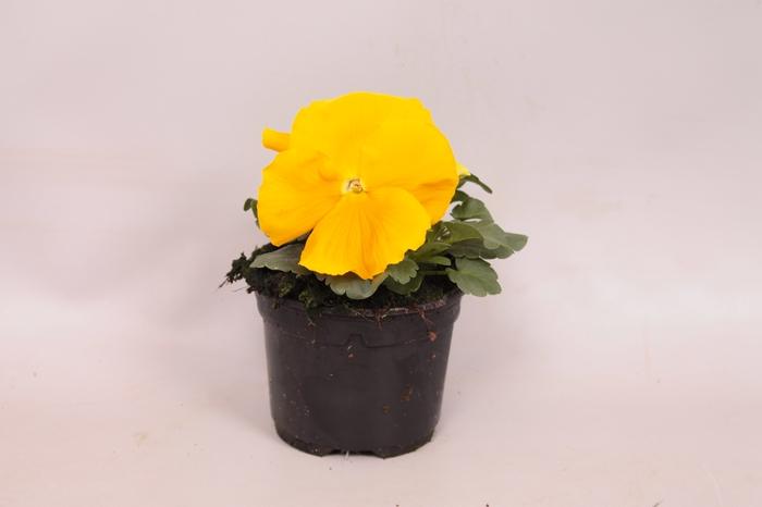 Viola wittrockiana F1 Pure Golden Yellow