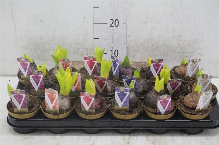 <h4>Hyacinthus Gemengd</h4>