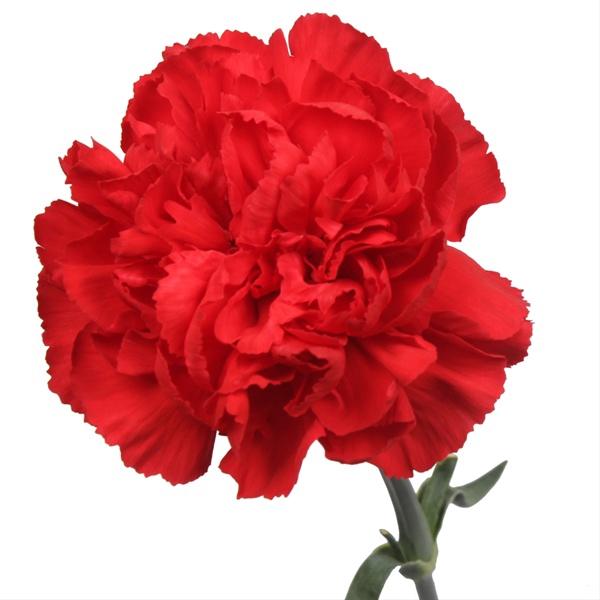 <h4>Clavel rojo Estándar</h4>