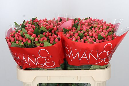 <h4>Hyp Sweet Romance Rose</h4>