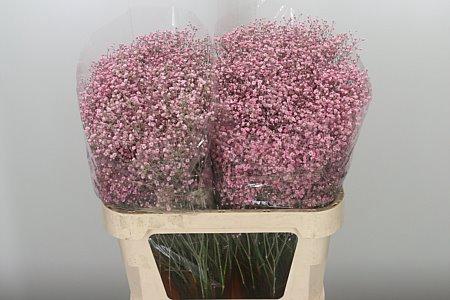 <h4>Gyps Klbh New Pink</h4>