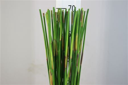 <h4>Green Sticks</h4>