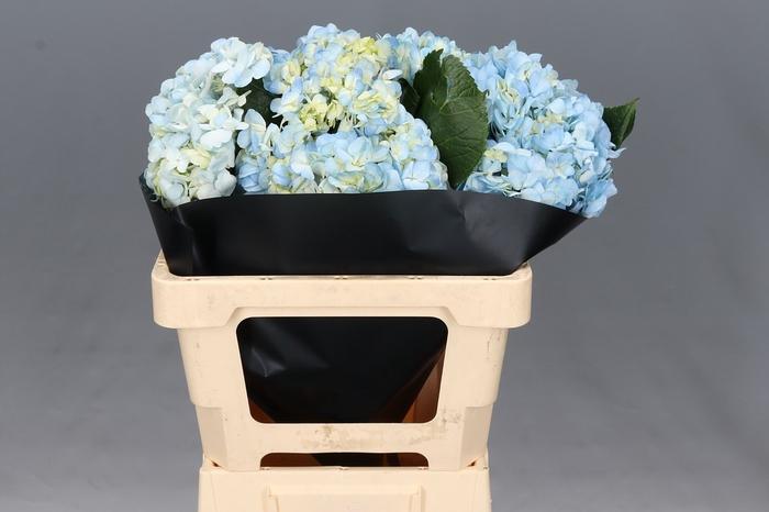 <h4>Hydrangea Blue Premium</h4>