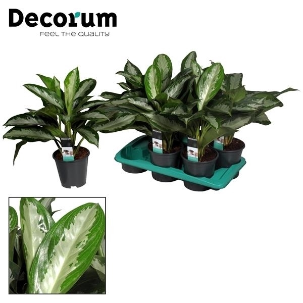 <h4>Aglaonema Diamond Bay 3 stekken p.p. (Decorum)</h4>