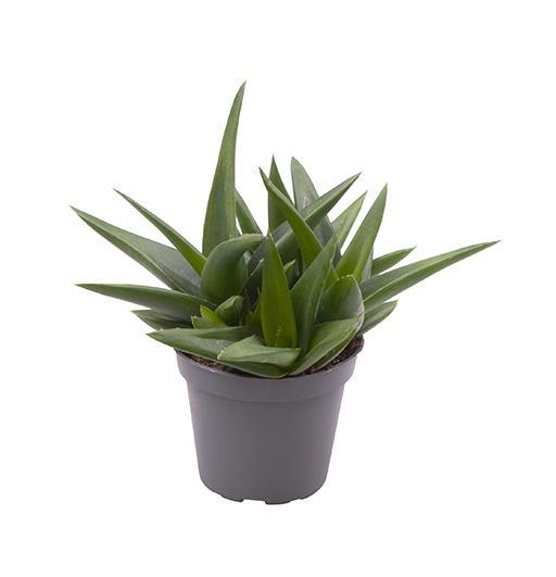 <h4>Aloe Black Gem 6Ø 16cm</h4>