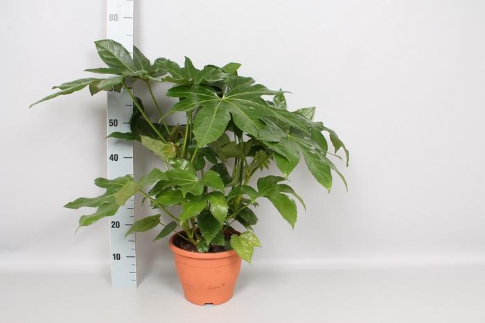 vaste planten 23 cm  Fatsia Japonica