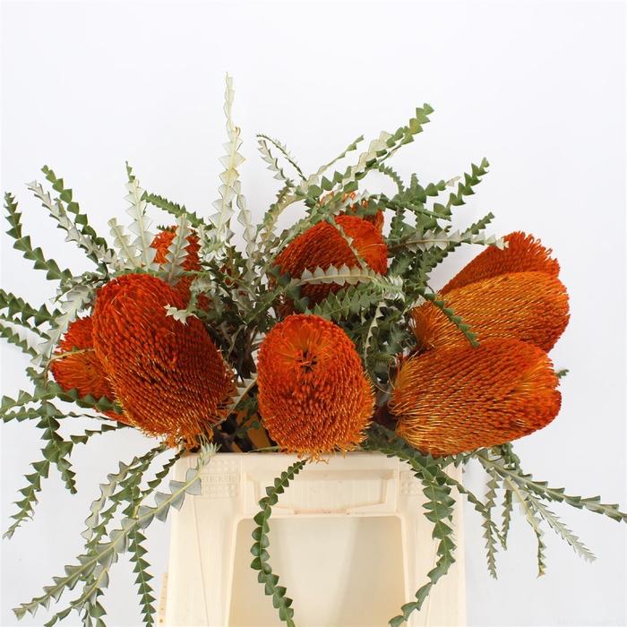 <h4>Banksia Speciosa Orange</h4>