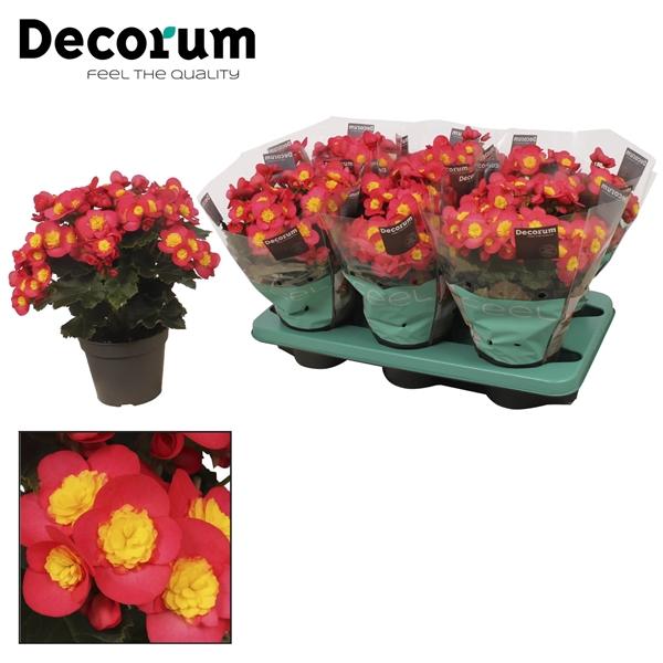 <h4>Begonia ''valentino pink'' Decorum</h4>