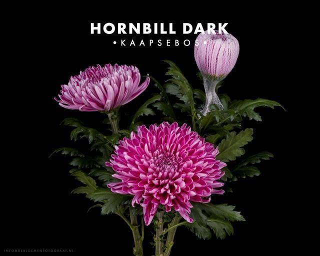 <h4>CHR. HORNBILL DARK 1PT</h4>