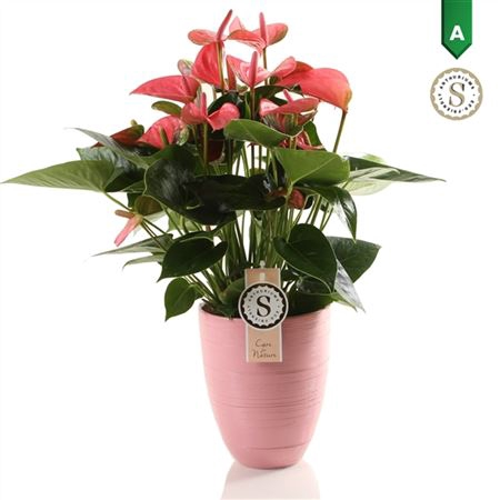 <h4>Anth St Pink Champion Keramiek Pink</h4>