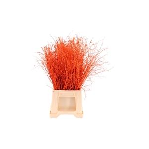 Berk ( Birch ) Orange