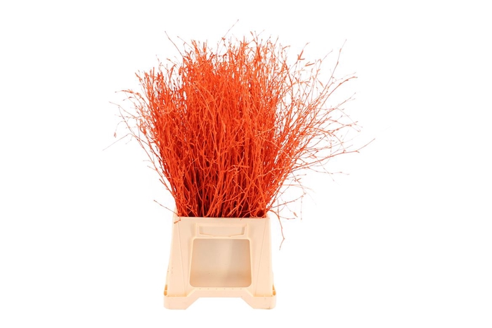 <h4>Berk ( Birch ) Orange</h4>