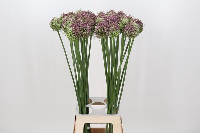 <h4>Allium Hairy Friend</h4>