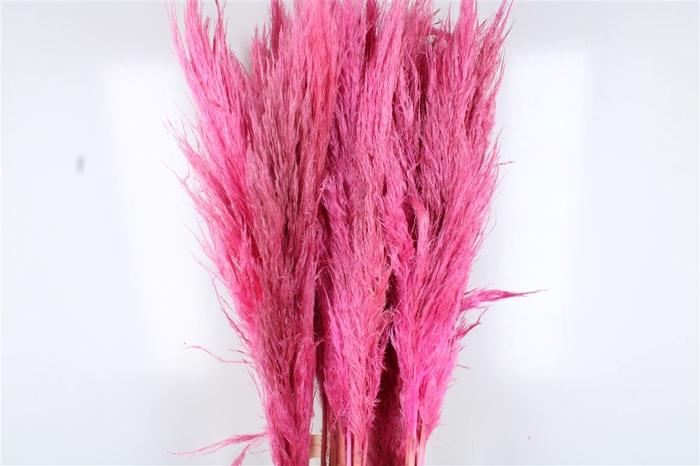 <h4>Cortaderia Baby Pink</h4>
