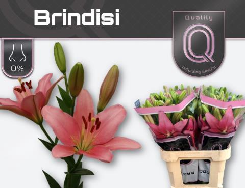 <h4>Lilium (LA-hybrids Grp) 'Brindisi'</h4>
