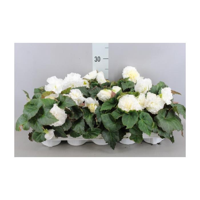 <h4>Begonia tuber. 'Fortune White'</h4>