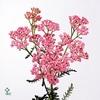 Achillea Pink Lady