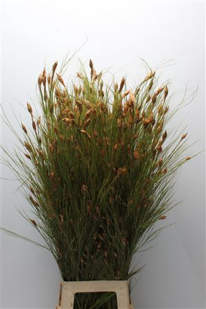 <h4>Kaaps Bell Reed Natural</h4>