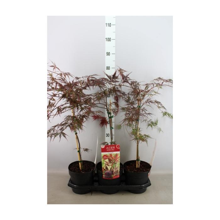 <h4>Acer palmatum 'Firecracker'</h4>