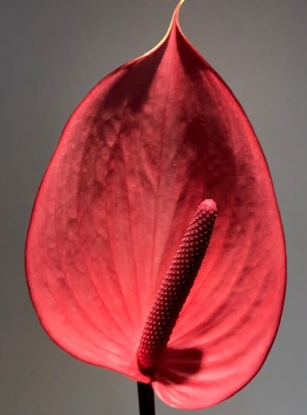 <h4>Anthurium Xavia Cerise Small</h4>