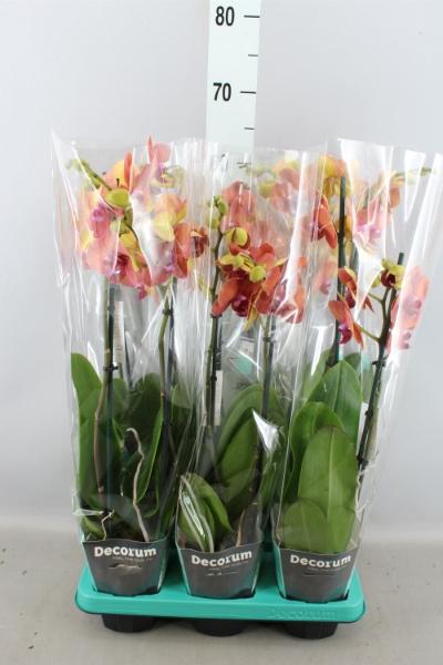 <h4>Phalaenopsis  'Surfsong'</h4>