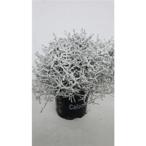 <h4>Calocephalus met Sneeuw</h4>