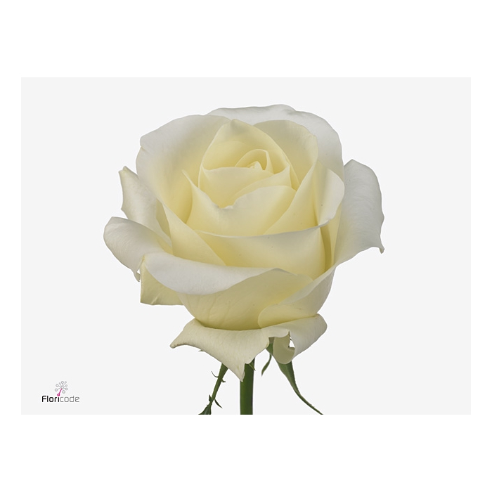 <h4>Rosa large flowered Andalusia</h4>