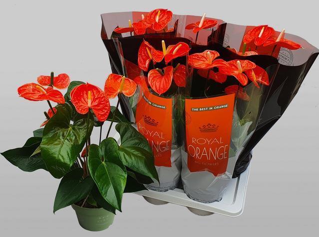 <h4>Anthurium mad Orange 17Ø 70cm 6fl</h4>