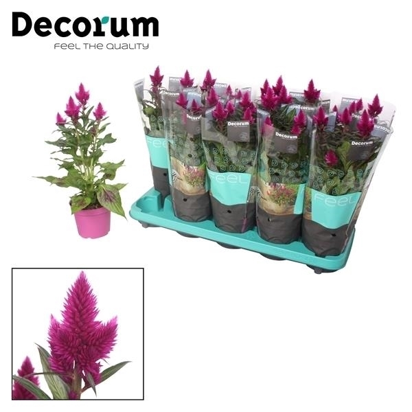 <h4>Celosia Deep Purple met Decorum hoes</h4>