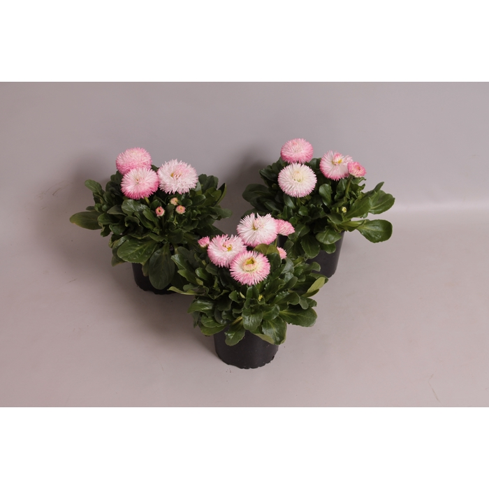 <h4>Bellis  Habanera White with Red tips</h4>