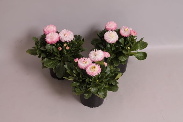 <h4>Bellis  Habanera Rose</h4>