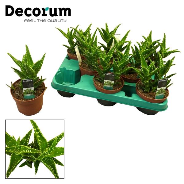 <h4>Aloe concinna</h4>